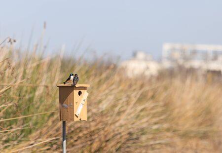 san joaquin: Tree swallow birds, Tachycineta bicolor, sits on a the nest box at the San Joaquin wildlife sanctuary, Southern California, United States