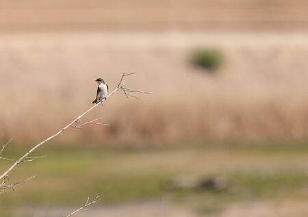 joaquin: Tree swallow birds, Tachycineta bicolor, on a branch at the San Joaquin wildlife sanctuary, Southern California, United States