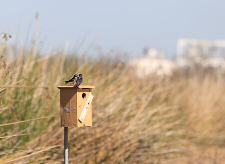 joaquin: Tree swallow birds, Tachycineta bicolor, on a nest box at the San Joaquin wildlife sanctuary, Southern California, United States Stock Photo