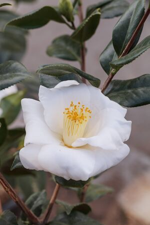 camellia japonica: Camellia japonica white flower, white bouquet, blooms on February 14, Valentines Day, in Los Angeles, California, United States