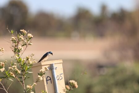 san joaquin: Blue Tree swallow bird, Tachycineta bicolor, sits on a nestbox at the San Joaquin wildlife sanctuary, Southern California, United States