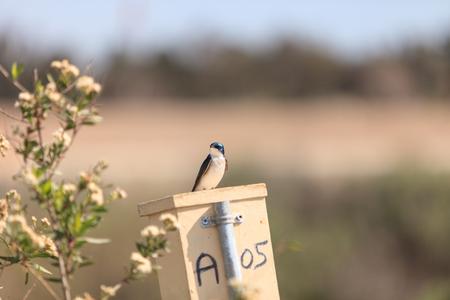 swallow bird: Blue Tree swallow bird, Tachycineta bicolor, sits on a nestbox at the San Joaquin wildlife sanctuary, Southern California, United States
