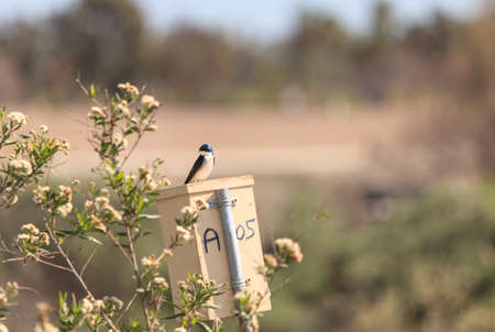 joaquin: Blue Tree swallow bird, Tachycineta bicolor, sits on a nestbox at the San Joaquin wildlife sanctuary, Southern California, United States