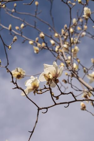 romance image: White magnolia flower, Magnolia cylindrica, blooms in a tree in February in Los Angeles, California, United States