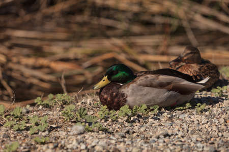 anas platyrhynchos: Wild Mallard duck bird, Anas platyrhynchos, at the edge of a pond in Southern California, United States