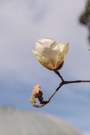 close up image: White magnolia flower, Magnolia cylindrica, blooms in a tree in February in Los Angeles, California, United States