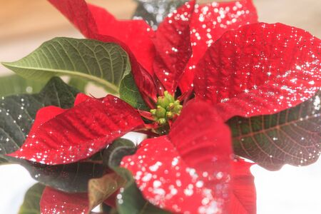 Red poinsettia holiday flower pot with silver sparkles sprinkled over the leaves and petals. Banco de Imagens