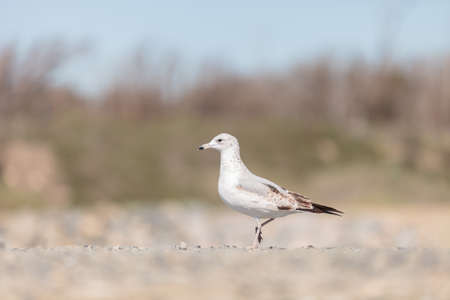 wildlife preserve: California Gull (Larus californicus) walks across sand at the Bolsa Chica wildlife preserve in Huntington Beach, Southern California, United States