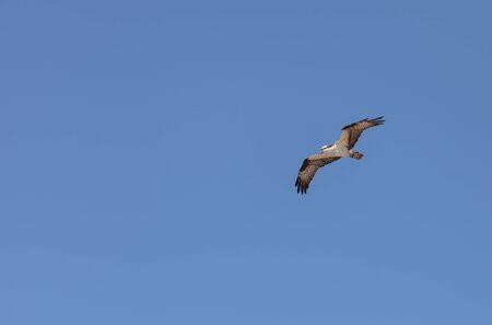 osprey bird: Osprey bird, Pandion haliaetus, flies against a blue sky in spring in Southern California, United States Stock Photo