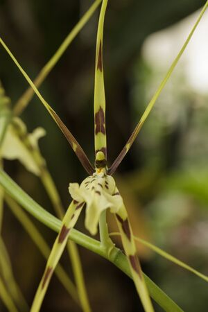orchid house: Spider orchid, Brasiia maculata, blooms in a botanical garden in a hot house in Los Angeles, California