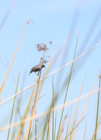 joaquin: Yellow-rumped warbler, Setophaga coronata, hides among the reeds at the San Joaquin wildlife sanctuary. Stock Photo