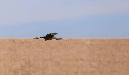 long faced: White faced ibis, Plegadis chihi, flies above the marsh at the San Joaquin wildlife reserve in Irvine, California, United States.