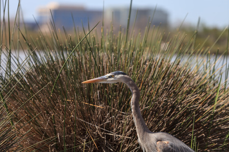herodias: Great blue heron bird, Ardea herodias, in the wild, foraging in a lake in Huntington Beach, California, United States Stock Photo
