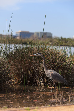 great blue heron: Great blue heron bird, Ardea herodias, in the wild, foraging in a lake in Huntington Beach, California, United States Stock Photo