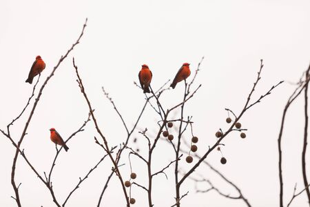 san joaquin: A male vermilion flycatcher bird, Pyrocephalus rubinus, perches in a tree at the San Joaquin marsh and wildlife sanctuary, Southern California, United States Stock Photo
