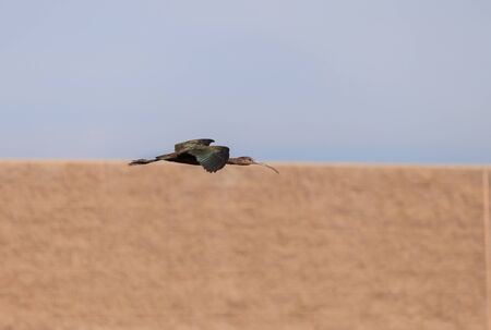 White faced ibis, Plegadis chihi, flies above the marsh at the San Joaquin wildlife reserve in Irvine, California, United States.