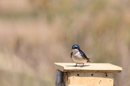 joaquin: Blue Tree swallow bird, Tachycineta bicolor, sits on a nesting box in San Joaquin wildlife sanctuary, Southern California, United States Stock Photo