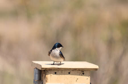 swallow bird: Blue Tree swallow bird, Tachycineta bicolor, sits on a nesting box in San Joaquin wildlife sanctuary, Southern California, United States Stock Photo