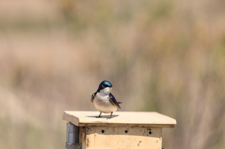 san joaquin: Blue Tree swallow bird, Tachycineta bicolor, sits on a nesting box in San Joaquin wildlife sanctuary, Southern California, United States Stock Photo
