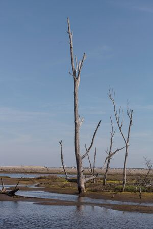 stark: Dead trees stand tall and stark in a California marsh in summer. Stock Photo
