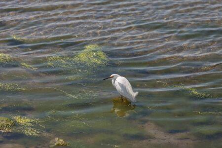southern california: Snowy Egret, Egretta thula, bird forages in a marsh in Huntington Beach, Southern California, United States