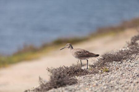 shorebird: Long billed Dowitcher shorebird called Limnodromus scolopaceus foraging along the shoreline of a Southern California marsh Stock Photo