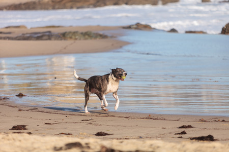 American Staffordshire terrier dog runs and plays along a beach in New England, Cape Cod, Massachusetts.