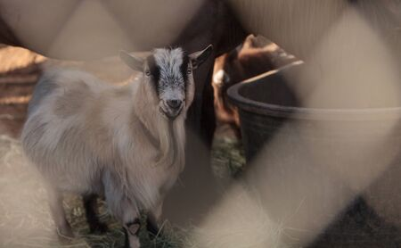 toggenburg: Toggenburg goat eats hay next to his horse companion at a barn on a farm.