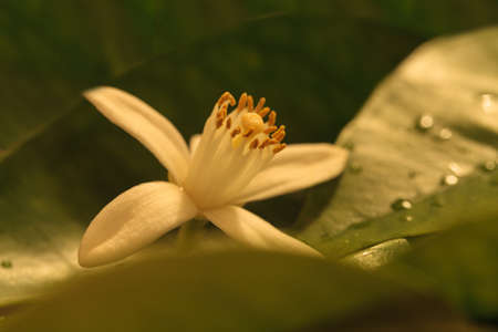 orange blossom: White fragrant orange blossom blooms on green leaves in the background in spring.