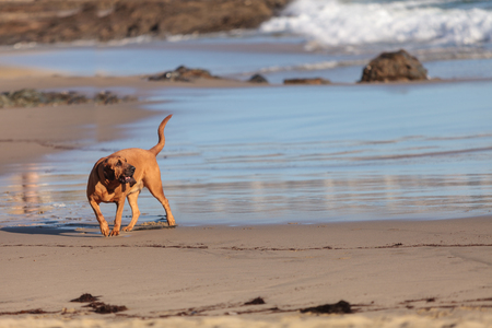 bloodhound: Bloodhound dog runs and plays along a beach in New England, Cape Cod, Massachusetts.