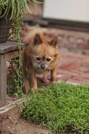 explores: Pomeranian and Chihuahua mix dog explores the garden in Laguna Beach, California. Stock Photo