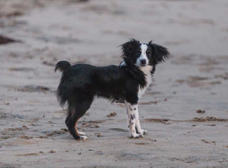 Black and white Papillon dog mix plays along the beach on Cape Cod, New England.