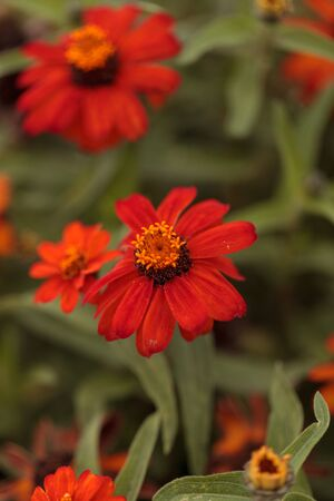 laguna: Red orange cosmos daisy blooms in a botanical garden in Laguna Beach, Southern California, United States