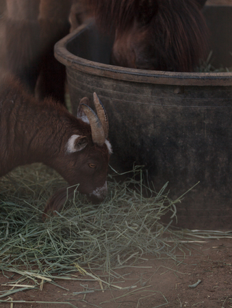 pygmy goat: A pygmy goat eats hay next to his horse companion at a barn on a farm. Stock Photo