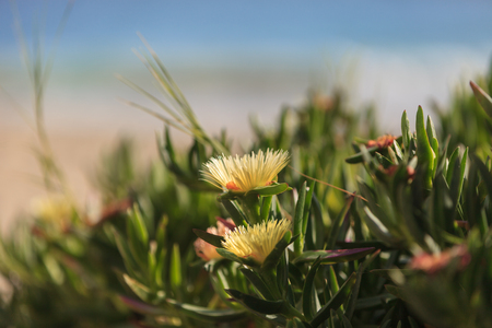 iceplant: Ice plant succulent, Carpobrotus edulis, creeping ground cover on beach sand in the spring in Southern California with the ocean in the background Stock Photo