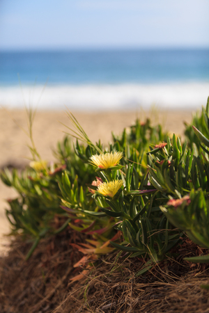 ice plant: Ice plant succulent, Carpobrotus edulis, creeping ground cover on beach sand in the spring in Southern California with the ocean in the background Stock Photo