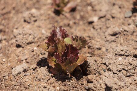 botanical farms: Fresh red leaf lettuce grows on a small organic farm in Southern California