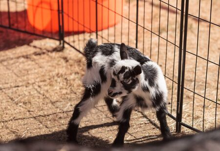 barn barnyard: Black and white baby Nigerian dwarf goat with bright blue eyes at a small farm.