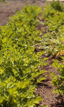 botanical farms: Fresh celery grows on a small organic farm in Southern California