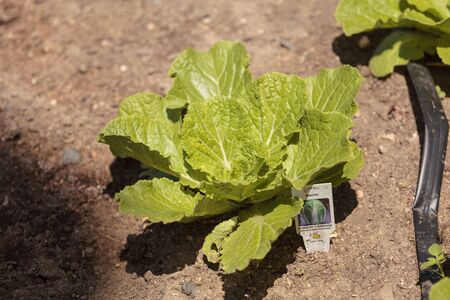 botanical farms: Fresh Chinese cabbage grows on a small organic farm in Southern California