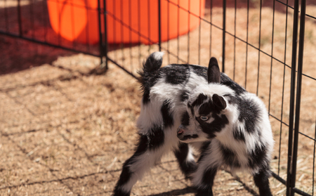 nigerian: Black and white baby Nigerian dwarf goat with bright blue eyes at a small farm.