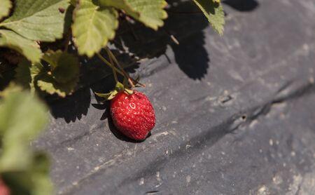botanical farms: Fresh red ripe strawberries grow on a small organic farm in Southern California