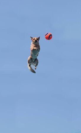 persona saltando: Ganado salta a través de un cielo azul para coger un juguete en verano.