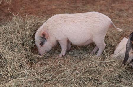 landrace: Pink pig known as a Gottingen minipig eats hay in a barnyard alongside goats and sheep.