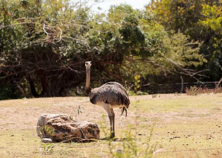 rhea: Greater Rhea Americana Nandu bird stands in a grassland eating shrubs. Stock Photo