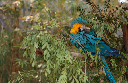 the ornithology: Blue and yellow Macaw bird Ara ararauna perches in a tree with its bright feathers folded under.