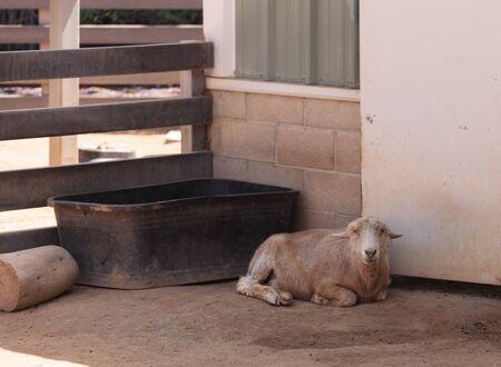 rare hog island sheep used to roam hog island off eastern virginia