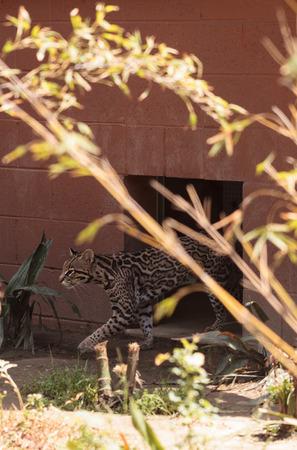 오슬로 고양이 Leopardus pardalis 동물원에서 인클로저 밖으로 기어 오릅니다.