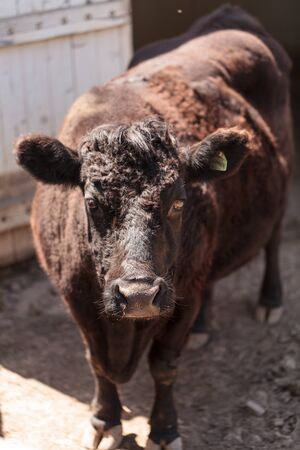 bos: Found in Ireland, the Dexter cow Bos taurus is a rare breed and is considered miniature cattle. Stock Photo