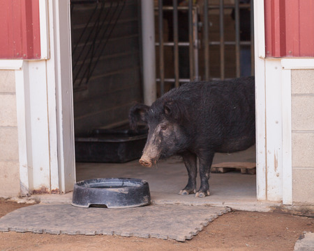 barn barnyard: North American Guinea hog emerges from a barn on a farm in Southern California. Considered a rare breed, Sus scrofa domesticus has fuzzy ears and a long snout